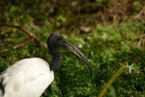 ibis-sacré2.jpg