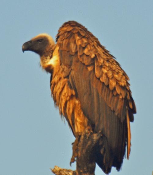 vautour-kruger.jpg