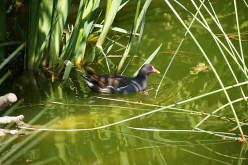Gallinule-poule-d'eau.jpg