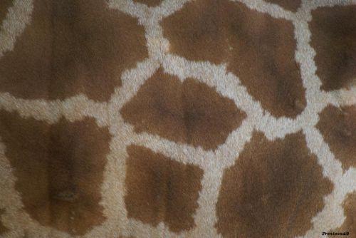 Peau de girafe en gros plans