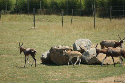 Groupe d'antilope qui tourne en rond