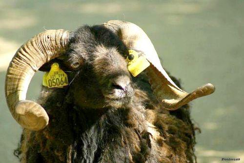 Mouton de  Ouessant à la boissière du doré