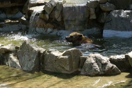 Ours dans l'eau en 2011