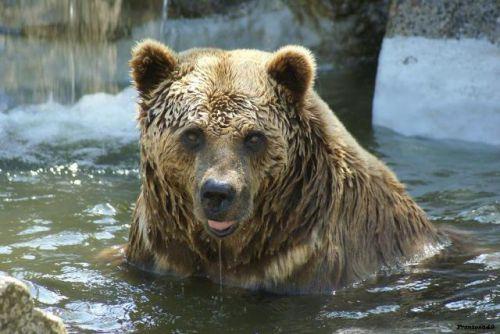 Portrait d'ours brun dans l'eau 2011