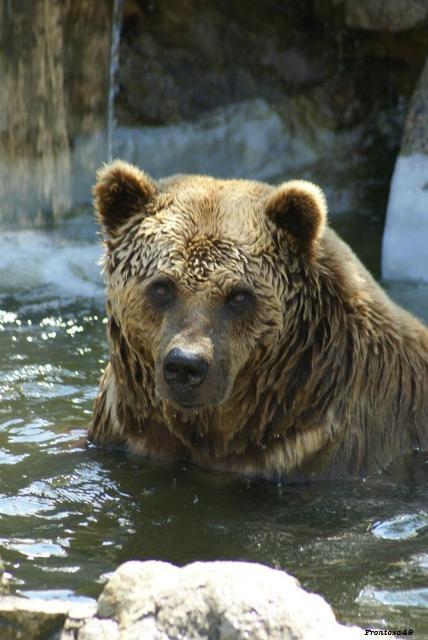 Tête d'ours brun dans l'eau 2011