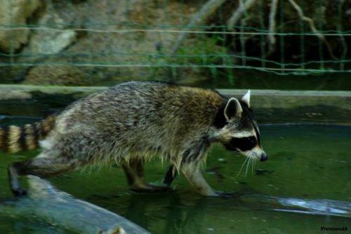 Raton dans l'eau 2011