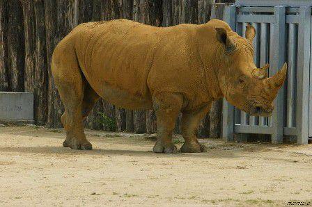 Le beau mâle rhinocéros