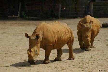 Les femelles rhinos