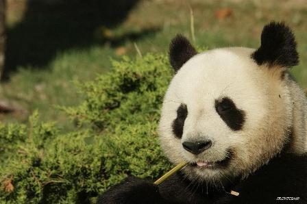 Panda Géant du zoo de Beauval 2012