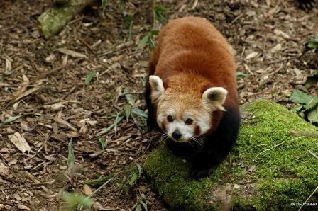 Parade du Panda roux zoo de Doué la Fontaine le 23 février 2013