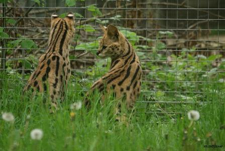 Serval Parc des félins 9 mai 2013