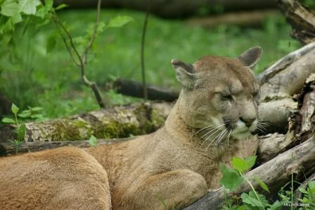 Puma Parc des félins 9 mai 2013