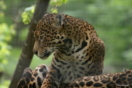 Jaguar Parc des félins 9 mai 2013