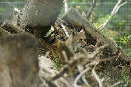 Lynx de Sibéris Parc des félins 9 mai 2013