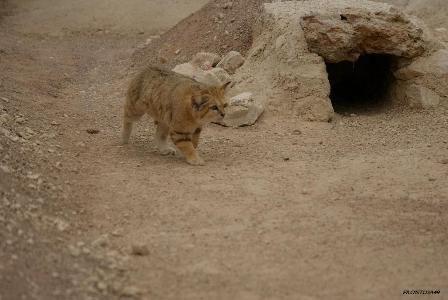 Chat des sables Parc des félins 9 mai 2013