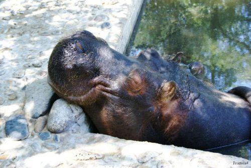 Tète d'hippopotame