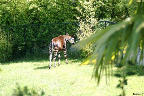 Okapi vue de dos