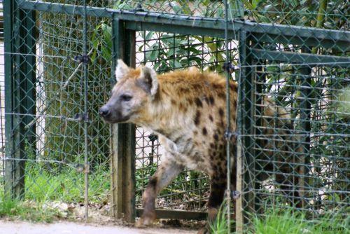 Hyene 3