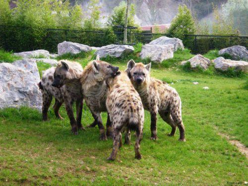 4 Hyenes