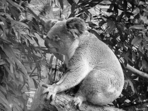 Koala 3