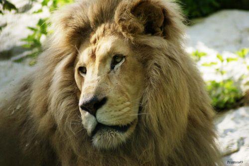 Portrait lion 2