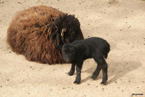 Mouton d'ouessant et son petit