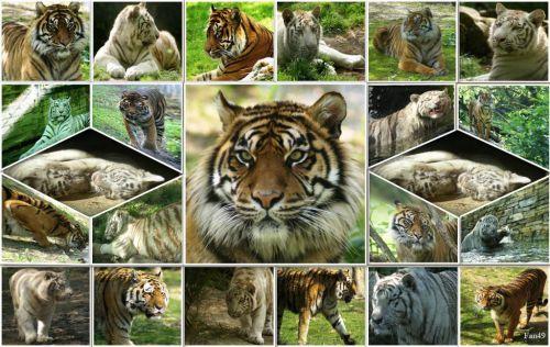 Tigres blancs et roux