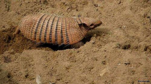 Tatou gratte dans le sable