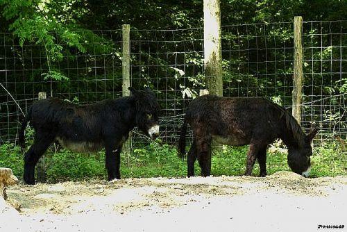 Deux  âne du Poitou