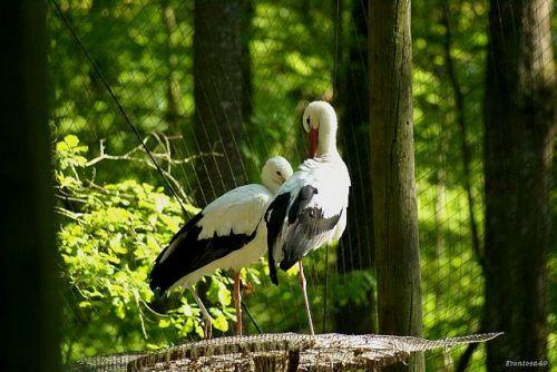 Couple de cigogne