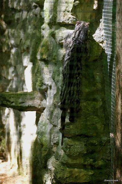 Genette grimpe sur un mur