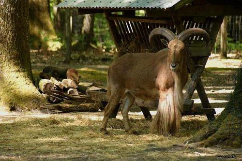 Mouflon mâle