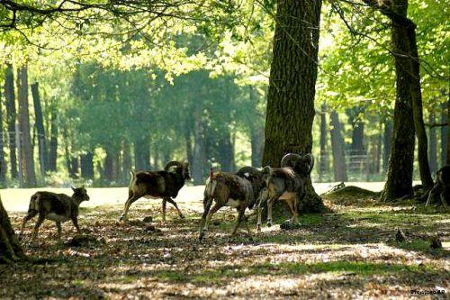 Mouflon Corse