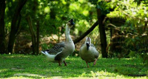 Couple d'oie
