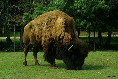 Bison de coté