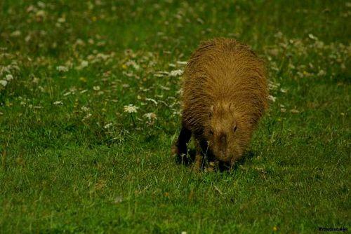 Capybaras  en 2011