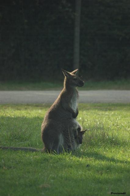 Kangourou avec son petit à planete sauvage en 2011
