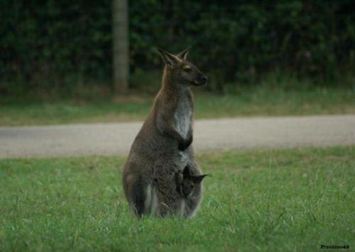 Kangourou avec son petit dans sa poche en 2011