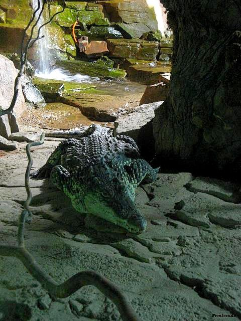 Crocodile planete sauvage 2011