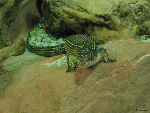 Crocodile 2011