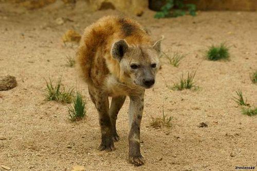 Hyene à Amnevillle 2011