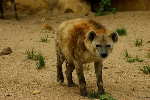 Hyene 3 Amneville 2011