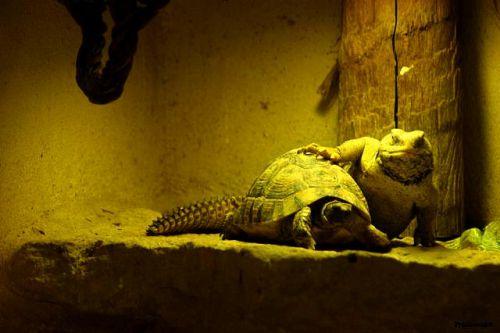 Varan avec son pot la tortue 2011 Amneville