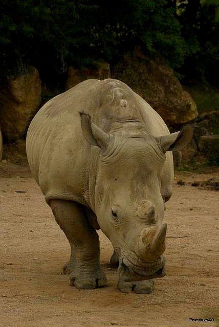Rhinoceros à Amneville 2011