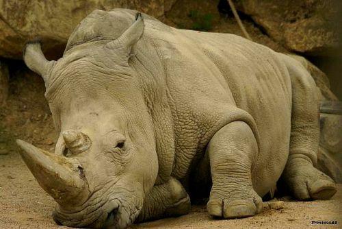 Rhinoceros 2011