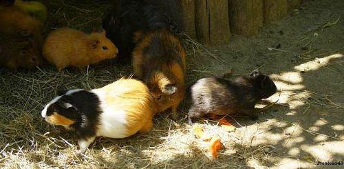 Cochon d'inde à la Boissière en 2011
