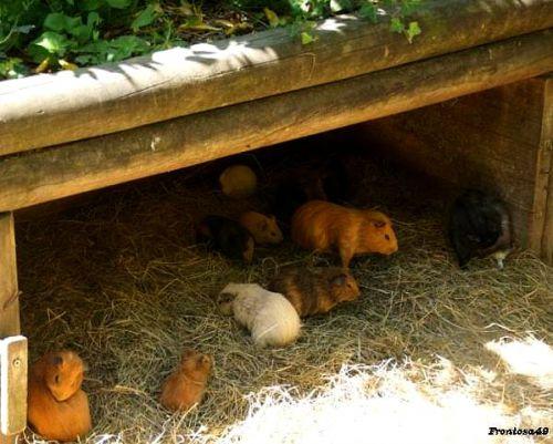 Troupe de cochon d'inde à la Boissière en 2011
