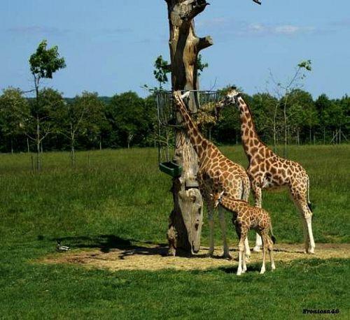 Girafe et Girafon à la Boissière 2011