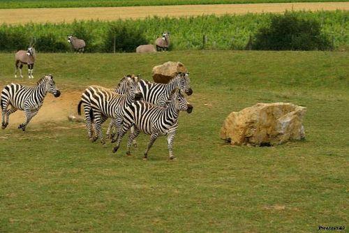 Zebre en action la Boissière 2011