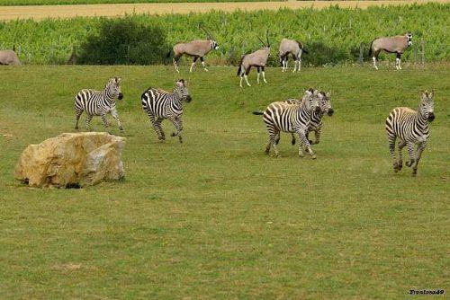 Zebre en action à la Boissière 2011